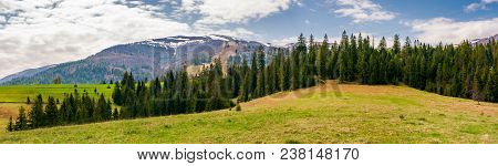 Panorama Of Spruce Forest On A Hill. Lovely Springtime Landscape With Snowy Tops Of Borzhava Mountai