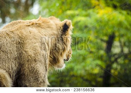 Lion Looking Out On The Rain With The Back Turned In A Green Area