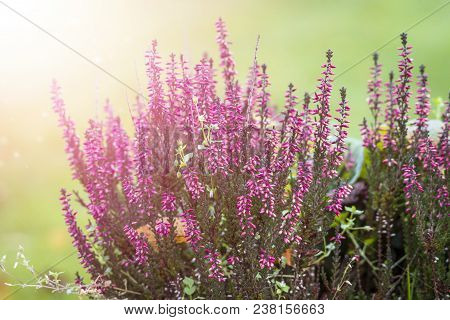 Erica Plant With Beautiful Violet Colors On A Green Background