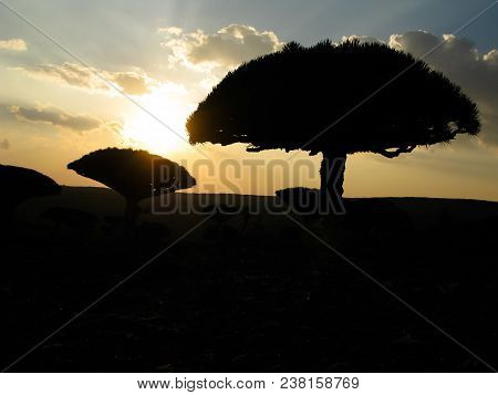 Contre-jour View To Dragon Tree Forest, Endemic Plant Of Socotra Island At Plateau Dixam, Yemen