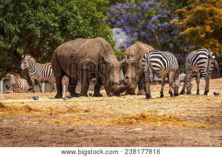 Rhinoceros And Zebras Walking In The Wild In The Ramat Gan Safari. The Zoological Center Tel Aviv-ra