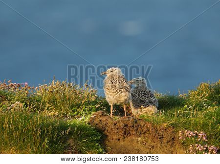 Two European Herring Gull Chicks Standing By The Nest In Grass On A Sunny Summer Day, Scotland, Uk.
