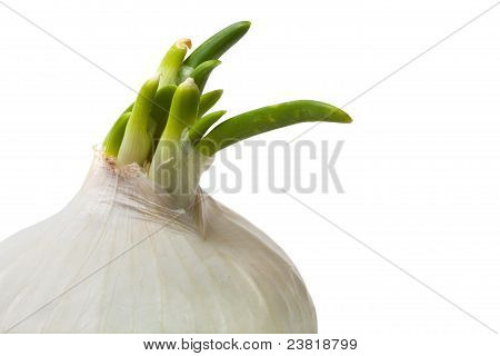 Single White Onion Closeup Isolated