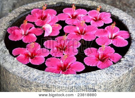 Hibicus Bright Pink Fluted Flower Floating In A Feature Pond India