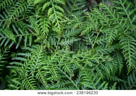 Ferns And Other Plants Of The Forest. Natural Fern Leaf Decor Closeup Photo. Tropical Greenery Top V
