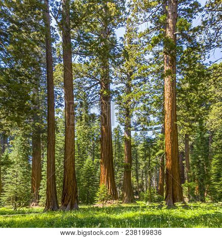 Famous Big Sequoia Trees Are Standing In Sequoia National Park, Giant Village Area , Big Famous Sequ