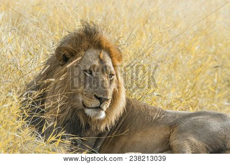 African Lion In Kruger National Park South Africa ; Specie Panthera Leo Family Of Felidae