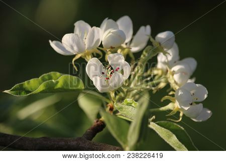 The Beautiful Sunlit White Blossom Of The Pear Tree In Spring. (pyrus Sp.)