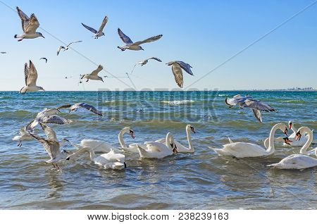 Swans And Gulls Are Fighting For Bread And Swim In The Black Sea.