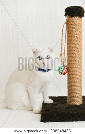 White cat with blue eyes posing with  her  scratching post