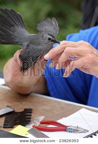 Catbird Being Banded