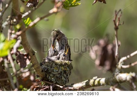 Annas Hummingbird Feeds Chick