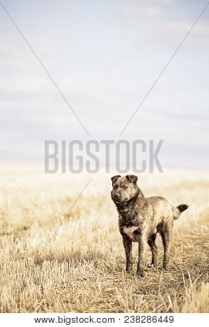 Brown Mongrel Standing On The Field. Dog Portrait