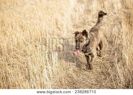 Brown Mongrel Walking On The Yellow Field