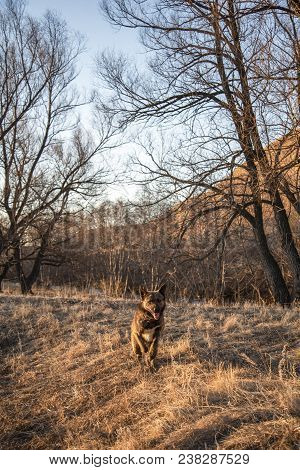 Brown Mongrel Runs Across The Field In The Evening On Camera