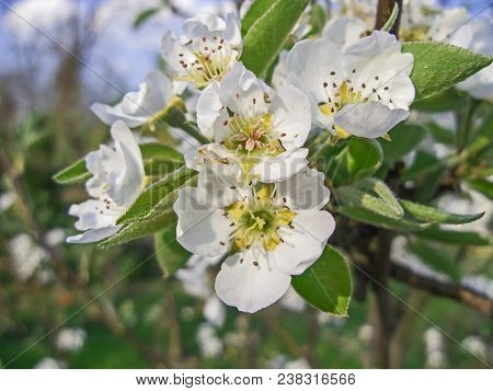 Branches Of Cherries With Blooming, Numerous Flowers. The Flowers In The Background Are Blurred. It`