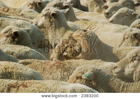 Ram in a flock of sheep being herded in Nevada poster
