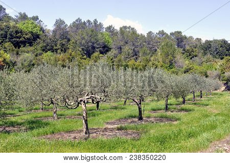Field Of Olive Trees In The South Of France In The Cevennes