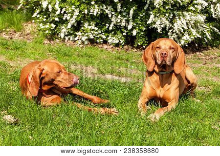 Hungarian Hound Lies In The Grass. Rest For Hunting. Hunting Dog On A Meadow
