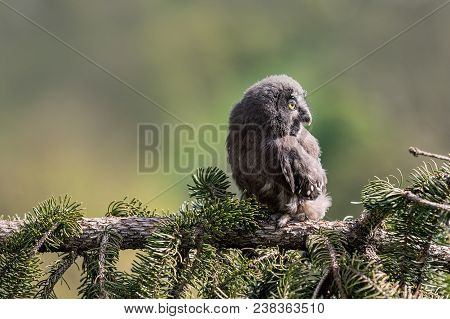 Youth Owl Gray. Great Grey Owl Or Great Gray Owl (strix Nebulosa) Is A Very Large Owl, Documented As