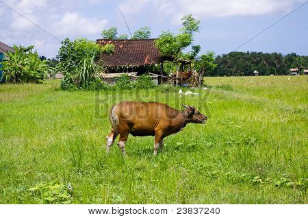 Cow In A Meadow On A Farm