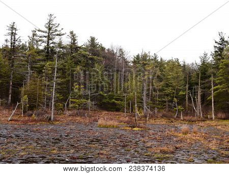 Harsh Scenic Landscape Of The Spruce Flats Bog With Hemlock Trees In The Background.