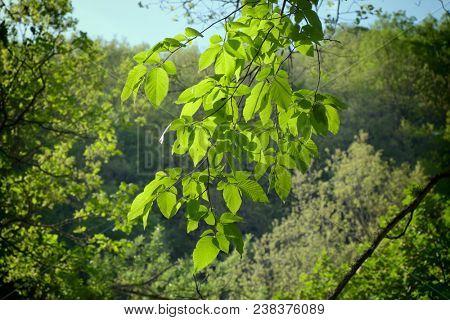 beech leaves in sunshine backlit, Sicily