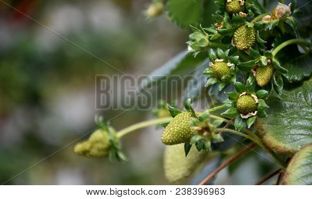 Ripe Berries And Foliage Strawberry Plant. Fresh Strawberries That Are Grown On Organic Farm. Red An