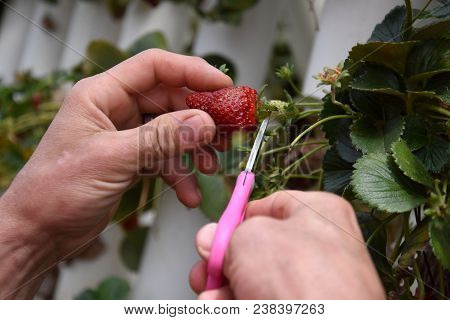 Strawberries In A Greenhouse, A Hand Picking Strawberries. The Red Strawberry Is Growing And Ripenin