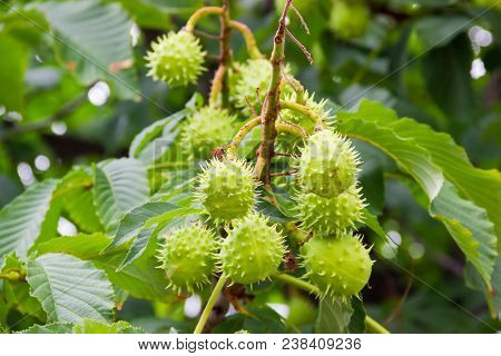 Cluster Of The Ripe Horse Chestnuts In Their Green Prickly Shells On A Horse Chestnut Tree At Select
