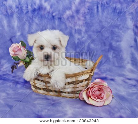 Little White Puppy
