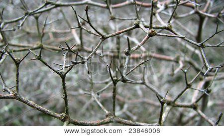 Thorn Branch Detail