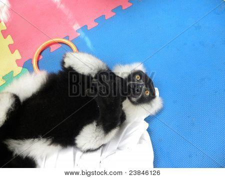 Black-and-White Lemur