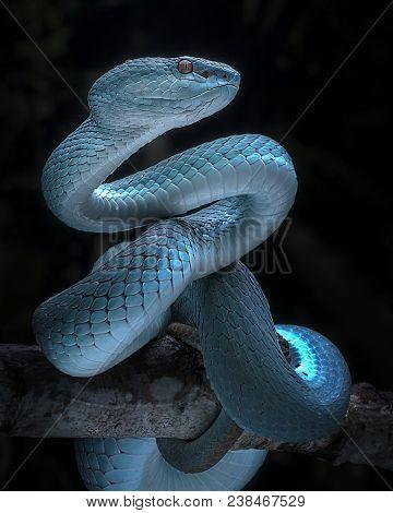 Blue Viper Snake Taken With Macro Lens