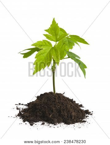 Sprout Of Tree Growing In Soil Isolated On White Background