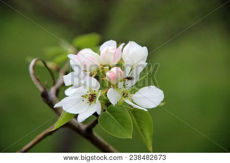 Amazing Closeup Image Of An Apple Blossom