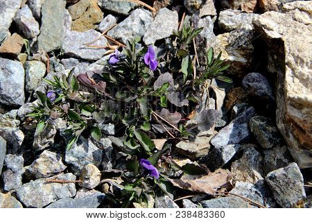 Some blue violets and green grass on the stones are growing in spite of everything poster