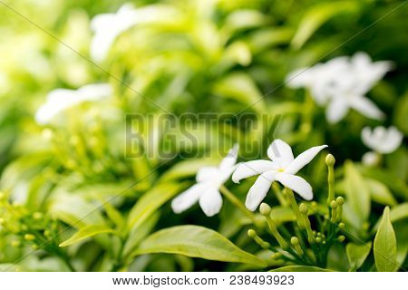 Sampaguita Jasmine With The Sunlight , The National Flower Of Republic Of The Philippines.