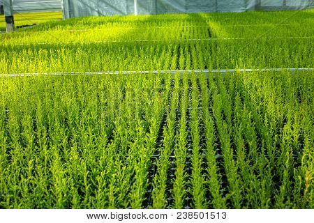 Cupressus Macrocarpa Goldcrest House Conifer Young Plants Growing In Dutch Greenhouse In Small Pots