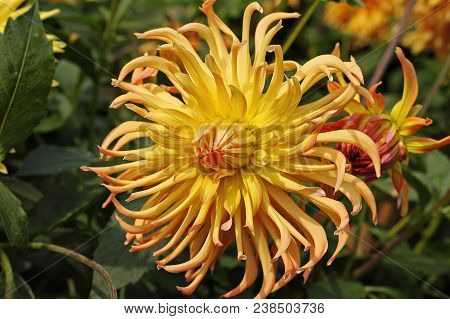 Orange Dahlia Flower In The Botany Garden