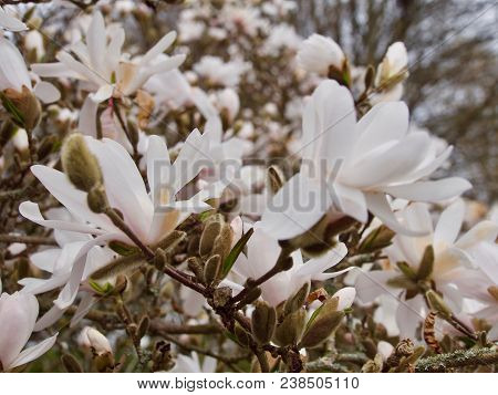 Amazing Nature Of White Magnolia Under Sunlight At Middle Of Summer Or Spring Day.