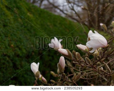 Amazing Nature Of White Magnolia At Middle Of Summer Or Spring Day.