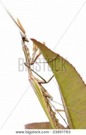 closed flat of praying mantis on white background poster