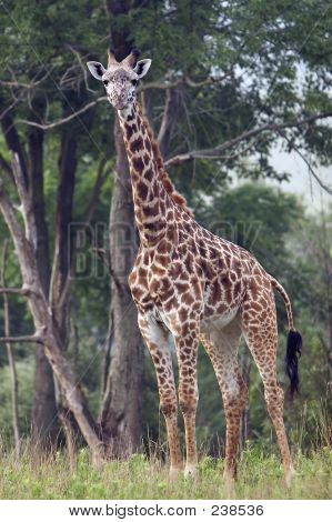 Full Length Shot Of Entire Giraffe
