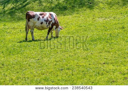 French Landscape - Vosges. Cow Eat Grass On A Meadow.