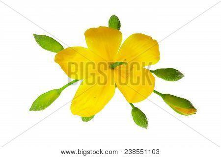 Celandine Flowers Isolated On White Background Closeup.