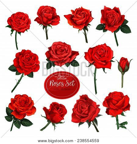 Rose Flower Set Of Blooming Plant. Garden Rose Isolated Icon Of Red Blossom, Petal And Bud With Gree