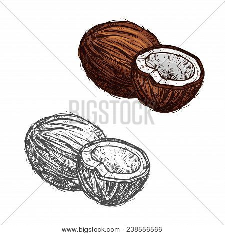 Coconut Fruit Sketch Of Tropical Coconut Palm. Whole And Half Of Exotic Nut Isolated Icon Of Healthy