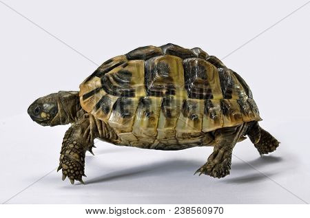 Running turtle isolated on white.Effort concept.