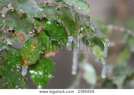 Icy Holly Bush